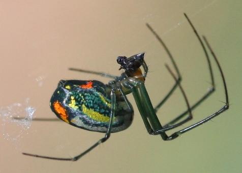 Orchard spider audubon swamp garden 10107 2